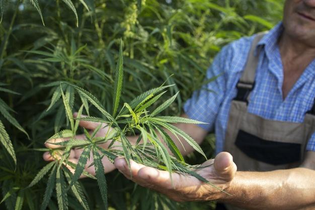 Persona cultivando cannabis